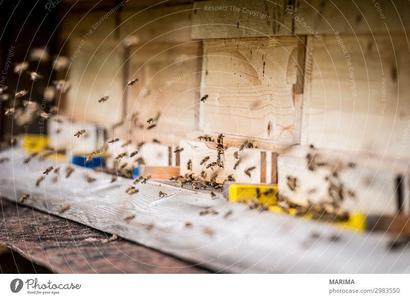 honeybee Apis mellifera Apoidea Biene; bee; Apiformes Bienen; bees; Apidae Bienenhaus Bienenstock Blütenstaub; pollen Echte Bienen; real bee; Apidae Honey