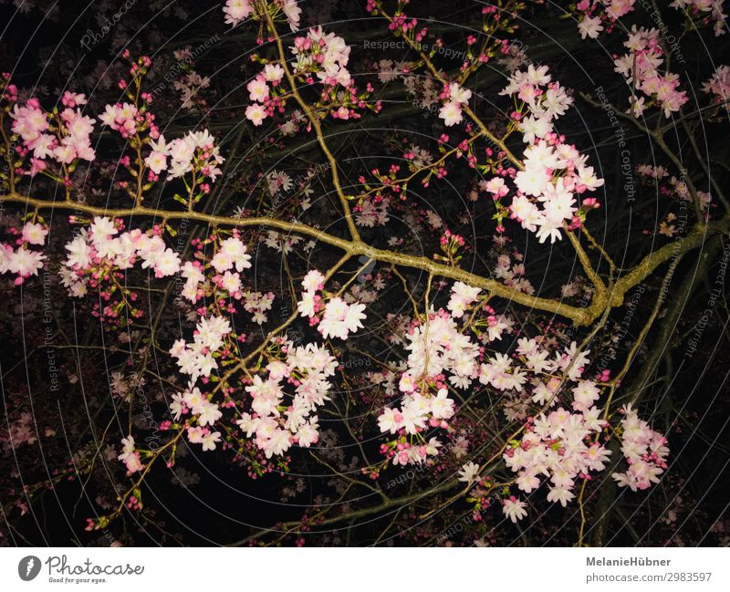 cherry blossoms Nature Plant Night sky Flower Blossom Beautiful Cherry blossom Spring Night shot Colour photo Multicoloured