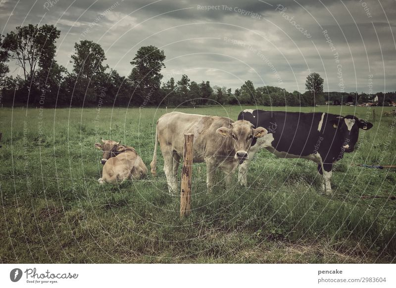 cow village Nature Landscape Summer Bad weather Storm Grass Meadow Field Animal Farm animal Cow 3 Authentic Dark Hick town Agriculture Dairy cow Allgäu