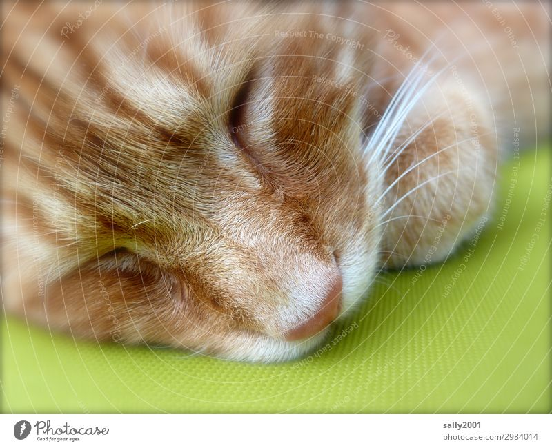 sleep in... Animal Pet Cat Animal face Whisker Nose 1 To enjoy Sleep Beautiful Cute Red Serene Calm Contentment Trust Fatigue Cushion Cozy Soft Colour photo