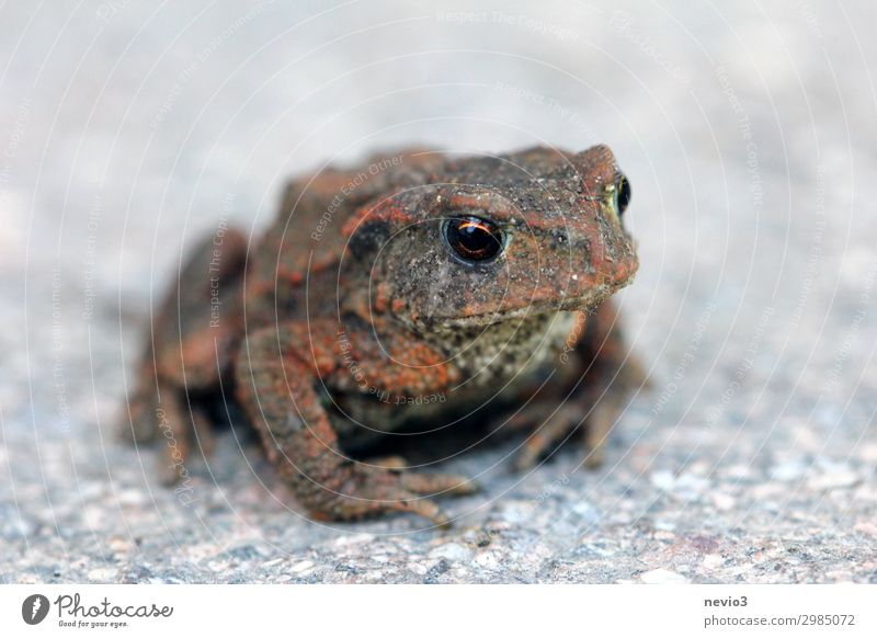 Little Toad Environment Nature Animal Frog 1 Sit Wait Dark Small Near Natural Brown Gray Painted frog Toad migration Frogs Worm's-eye view Stone floor Subsoil