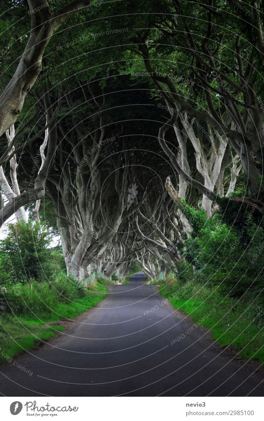 Dark Hedges in Northern Ireland Environment Nature Landscape Tree Green dark hedges Avenue Street Beech wood Beech tree Mystic Lanes & trails Travel photography