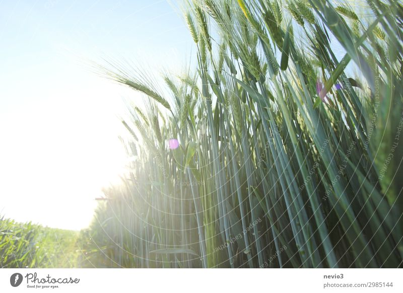 Barley field in summer Nature Landscape Spring Summer Plant Field Green Barleyfield Barley ear Ear of corn Food Food aid Nutrition Healthy Harmful to health