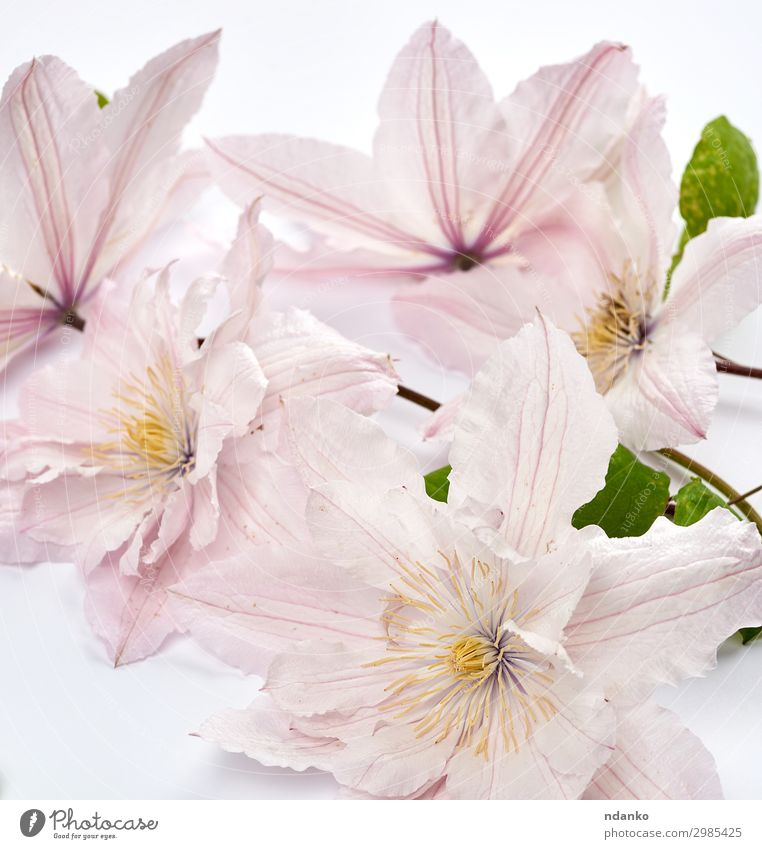 bouquet of pink clematis flowers on white background Beautiful Summer Garden Wedding Nature Plant Flower Leaf Blossom Bouquet Blossoming Fresh Bright Natural