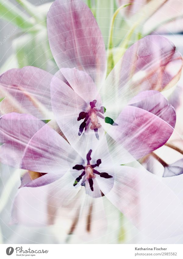 Tulips double exposure Nature Plant Spring Summer Autumn Winter Leaf Blossom Bouquet Blossoming Multicoloured Green Violet Pink Black White Tulip blossom
