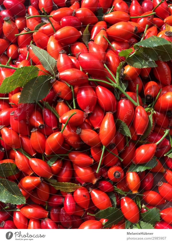 rose hip Plant Healthy Rose hip Red Jam Central perspective Garden Tea Medicinal plant Colour photo Multicoloured
