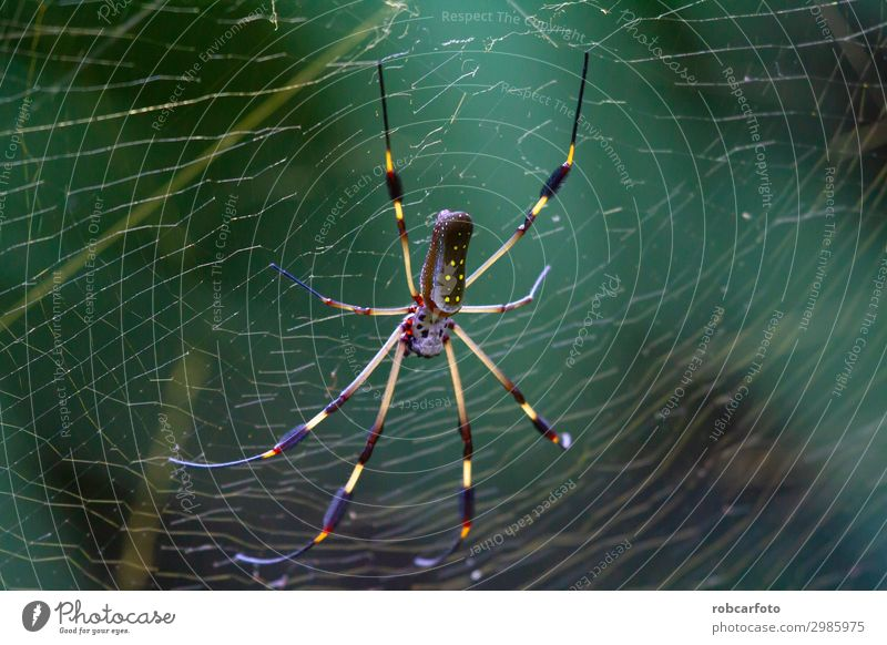 Nephila, golden banana spider in costa rica Beautiful Internet Nature Animal Park Spider Wild Gold Green Dangerous Colour Ribs Insect america Orb River