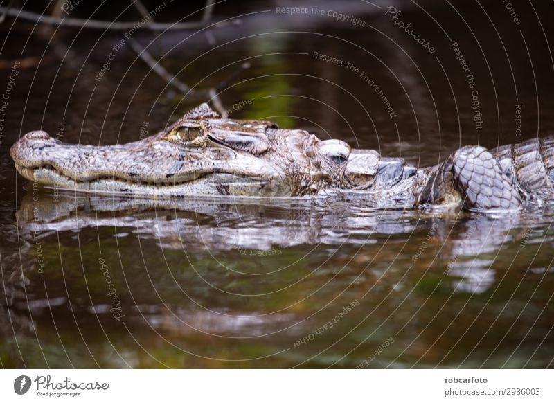 Alligator in Tortuguero National Park of Costa Rica Mouth Teeth Nature Animal Tree Virgin forest River Smiling Wild Anger White Dangerous tortuguero national