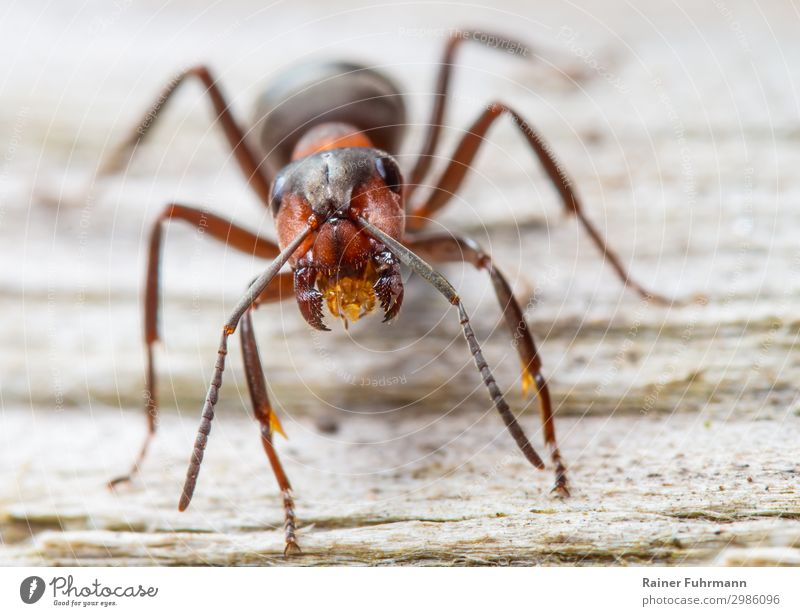 "Portrait of a red wood ant Nature Animal Wild animal ""Ant Red wood ant Formica rufa"" 1 Observe Aggression Brave Determination Passion Resolve ""Worker Threaten"