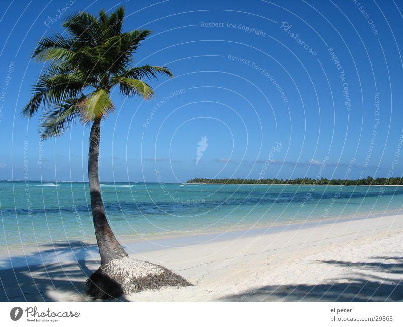 palm Palm tree