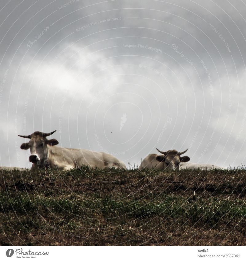 The boys for the rough stuff Clouds Meadow Pasture Bull 2 Animal Observe To feed Wait Together Power Might Brave Determination Agreed Attentive Watchfulness