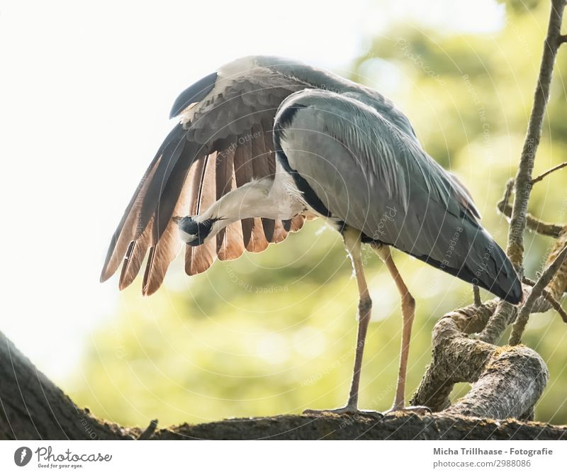 Herons in plumage care Nature Animal Sky Sunlight Beautiful weather Tree Twigs and branches Leaf Wild animal Bird Wing Claw Grey heron herons Feather