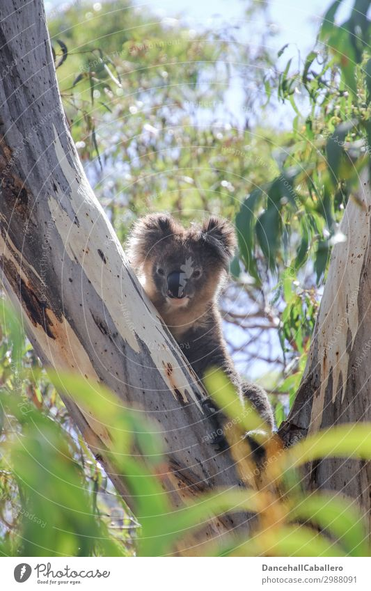already awake... Vacation & Travel Tourism Environment Nature Climate Climate change Beautiful weather Tree Leaf Park Forest Animal Wild animal Zoo 1 Koala