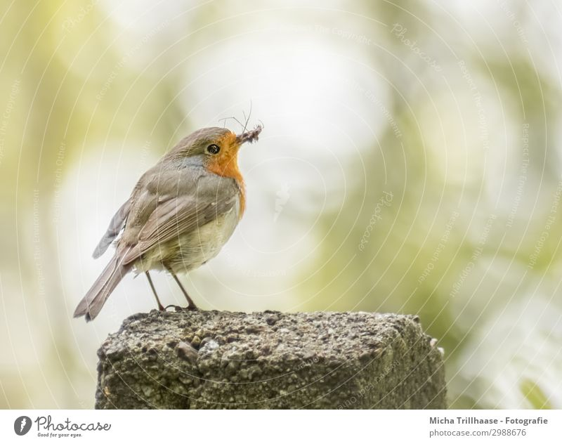 Robin with insect in beak Nature Animal Sunlight Beautiful weather Pole Wild animal Bird Animal face Wing Claw Robin redbreast Beak Eyes Feather Plumed Insect 1