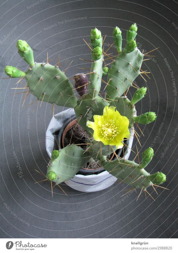 cactus flower Plant Cactus Foliage plant Cactus flower Flowerpot Blossoming Exotic Yellow Gray Green Nature Opuntia Echinocarpa Colour photo Studio shot