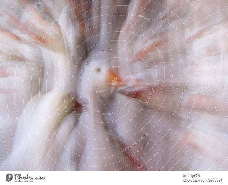 goose Animal Pet Farm animal Bird Goose 1 Group of animals Orange White Poultry farm Intensive stock rearing Center point Colour photo Studio shot Experimental