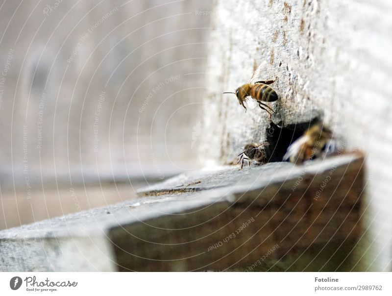 departure Animal Farm animal Bee Flock Free Bright Small Near Natural Brown Diligent Flying Buzz Beehive Colour photo Subdued colour Exterior shot Close-up
