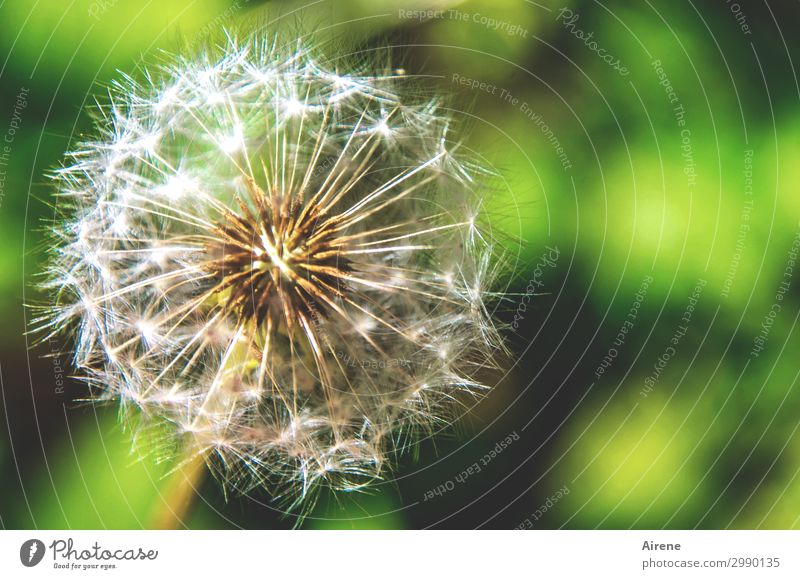 Ready to go Summer Beautiful weather Flower Dandelion Seed Sphere Aircraft To hold on Wait Round Green White Nature Easy Delicate Many DNA Distribute