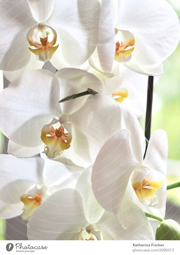 Orchids in white Nature Plant Spring Summer Autumn Winter Flower Leaf Blossom Exotic Blossoming Illuminate Yellow Orange White Growth Orchid blossom