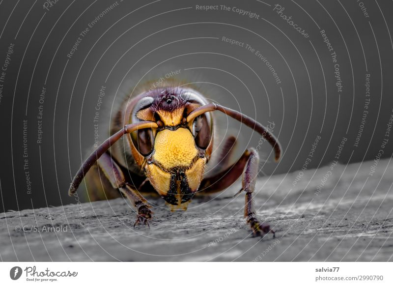hornet Environment Nature Animal Animal face Wasps Hornet Insect Feeler Compound eye 1 Wood To feed Crawl Exceptional Threat Eating Gnaw Face Head Colour photo