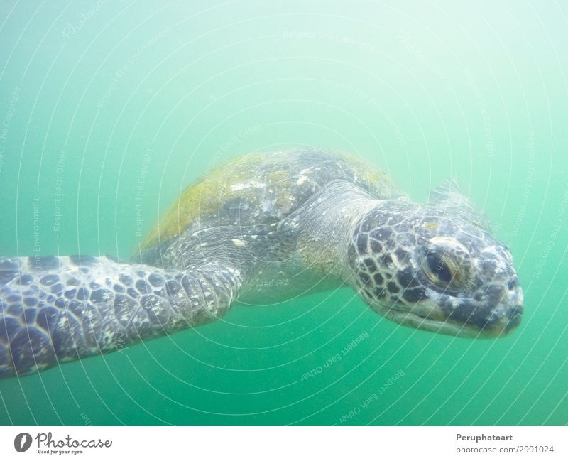 Green turtle that comes to you underwater Beautiful Life Ocean Island Environment Nature Animal Natural Cute Wild Blue Colour marine Aquatic Coral ecosystem
