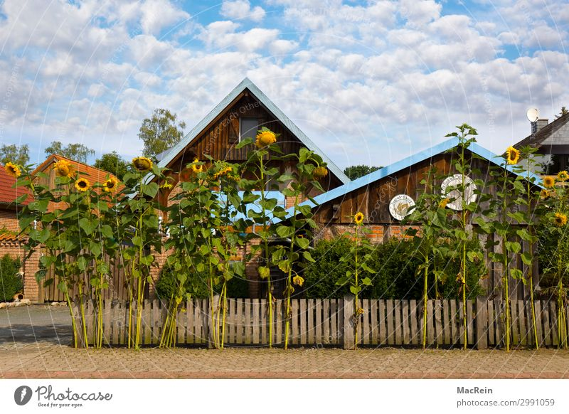 Sunflowers in front of a house Summer House (Residential Structure) Garden Environment Nature Plant Clouds Beautiful weather Warmth Agricultural crop Village