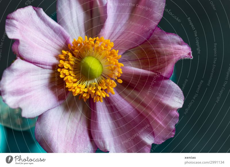 Anemone in pink Spring Summer Autumn Flower Blossom Beautiful Soft Blue Yellow Orange Pink Delicate Colour photo Studio shot Close-up Detail Deserted