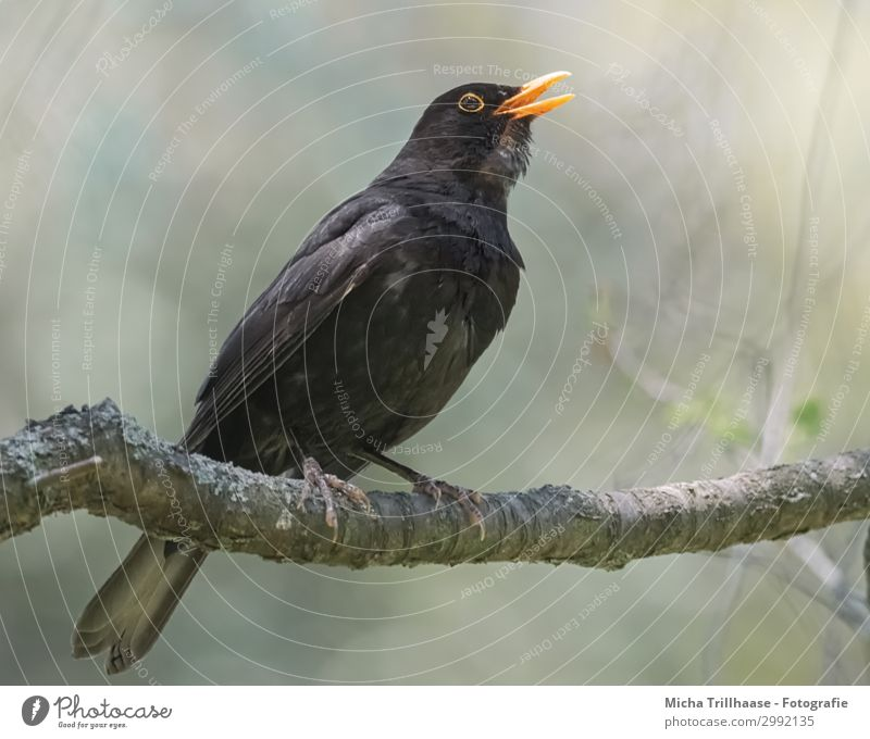 Singing blackbird in the sunshine Nature Animal Sunlight Beautiful weather Tree Branch Wild animal Bird Animal face Wing Claw Blackbird Beak Eyes Feather Plumed