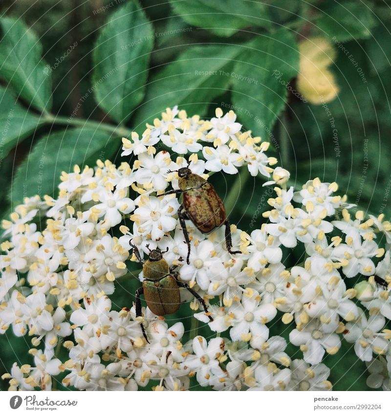 land of milk and honey Nature Plant Leaf Blossom Wild plant Forest Beetle Blossoming Discover To feed Crawl To swing Summer June beetle Elderflower Colour photo