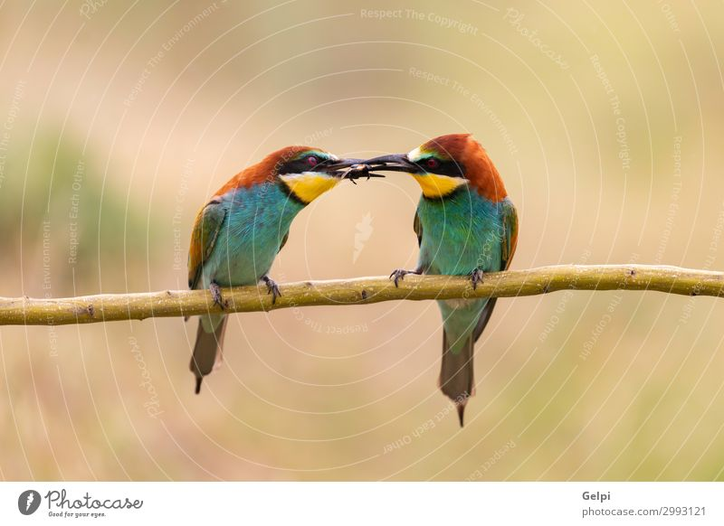 Male bee eater giving a insect to its partner Eating Beautiful Couple Partner Environment Nature Animal Bird Bee Love Wild Blue Green Black Colour bee-eater