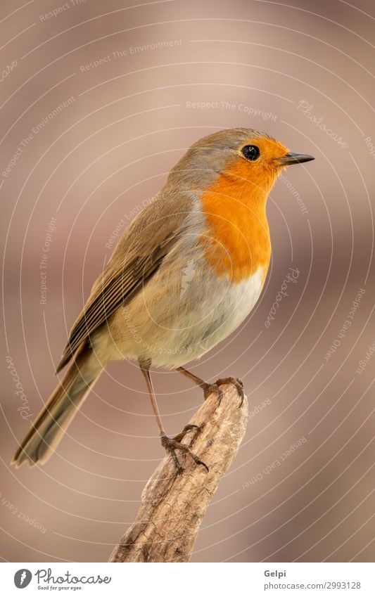 Pretty bird With a nice orange red plumage Beautiful Life Man Adults Environment Nature Animal Bird Wood Small Natural Wild Brown Gray White wildlife robin