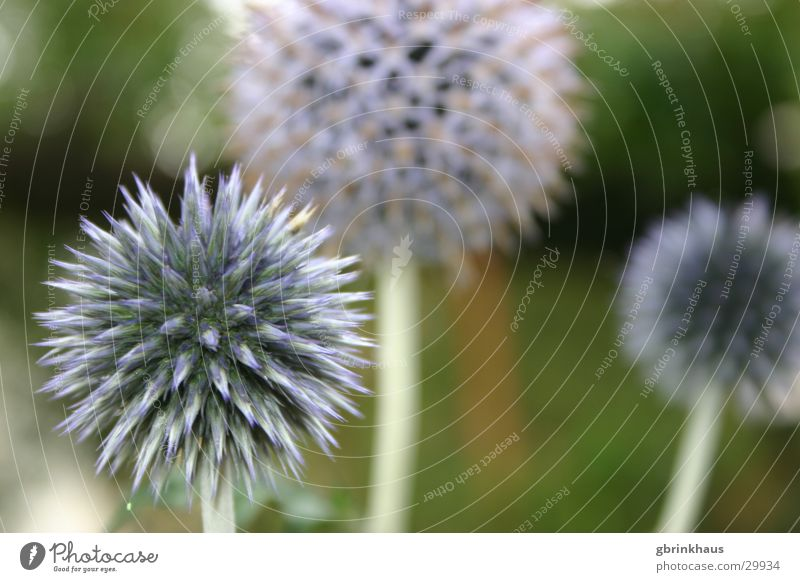 Flower Blue Garden Botany Thorn Thorn Prongs Thistle