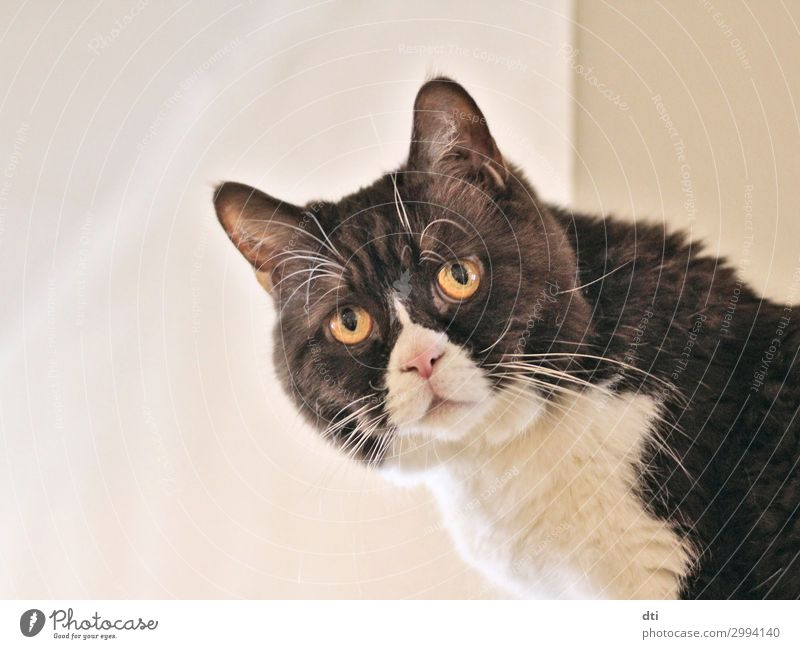 What are you lookin' at? Cat White Animal Black Brown Cute Pet Animal face