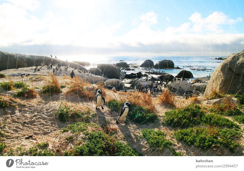 waddling through the world Animal portrait To enjoy Nature Water Rock Clouds Sunlight Beach coast Deserted Freedom Dawn Trip Sunrise Tourism Dream In particular