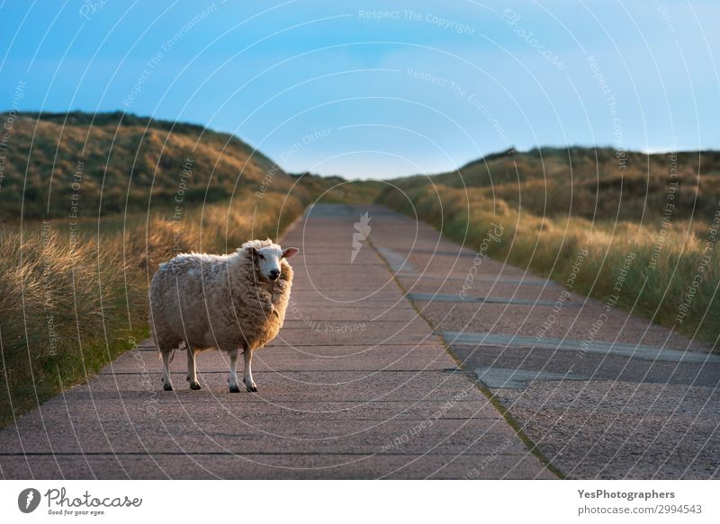 Single sheep on an empty road facing the camera Vacation & Travel Summer Sun Nature Landscape Beautiful weather Grass Street Observe Funny Cute Loneliness