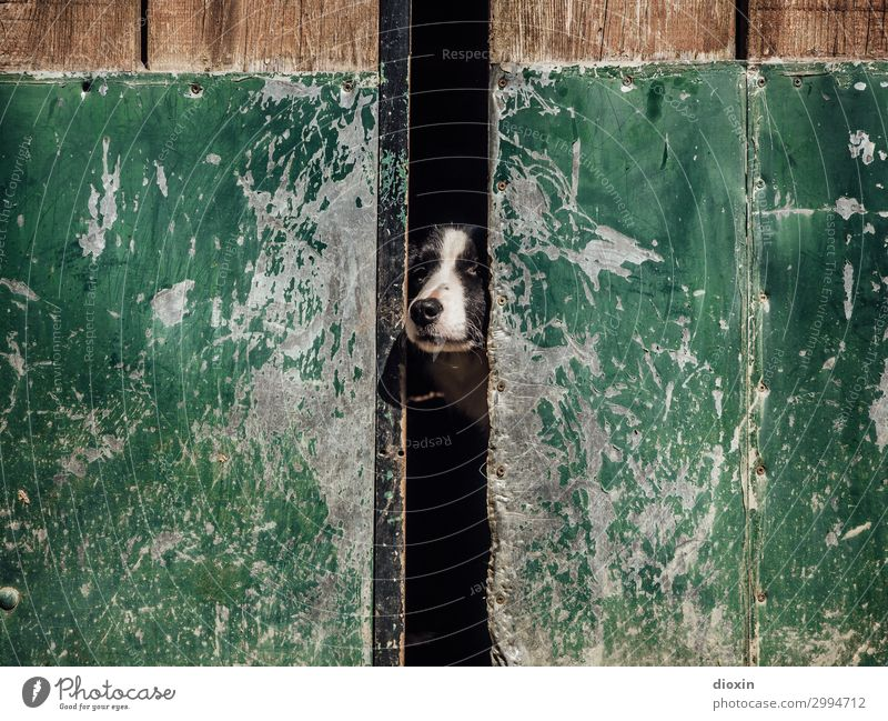 sentinel Door Gate Animal Pet Dog Animal face Snout Dog's snout Watchdog 1 Observe Protection Guard Watchfulness Protector Country life Colour photo