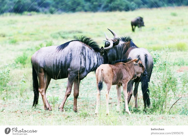 family happiness Vacation & Travel Tourism Trip Adventure Far-off places Freedom Safari Wild animal Animal face Pelt Gnu wildbeast Pair of animals Baby animal