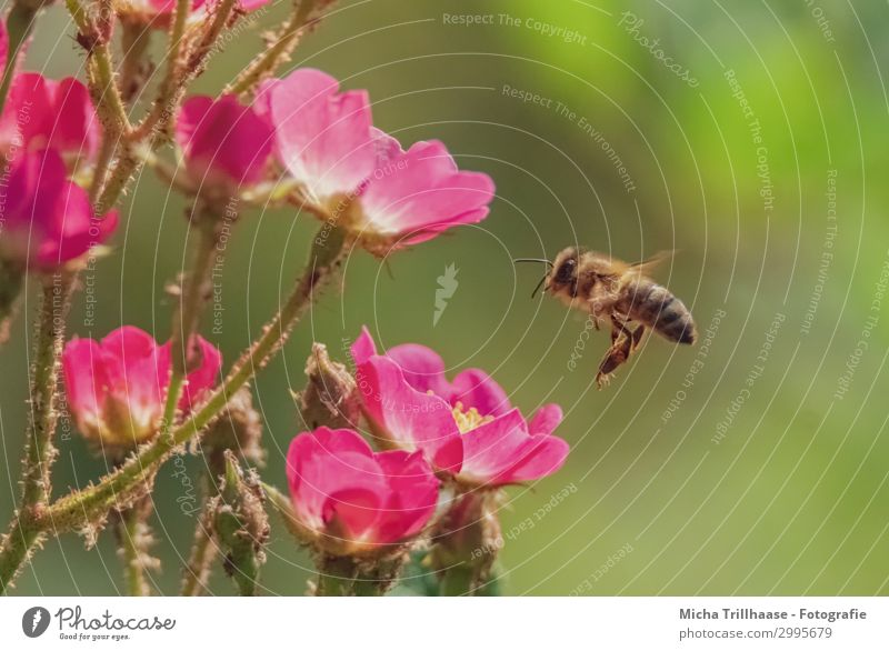 Bee approaching flowers Nature Plant Animal Sunlight Beautiful weather Flower Blossom Blossom leave Farm animal Wild animal Animal face Wing Head Eyes Feeler