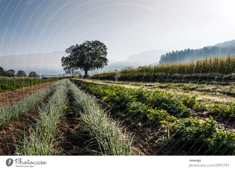 agriculture Nature Landscape Cloudless sky Spring Summer Beautiful weather Fog Tree Agricultural crop Herbs and spices Field Row Organic farming Organic produce