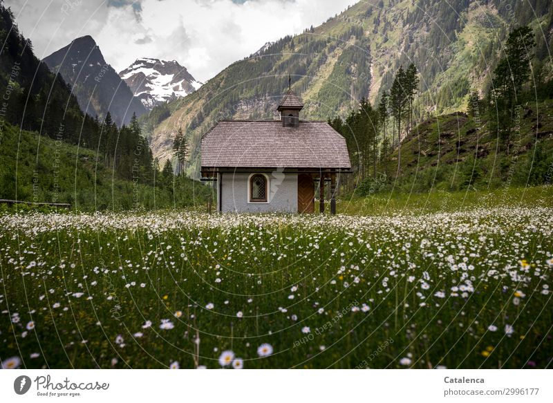 In the Marguerite Field Nature Landscape Sky Clouds Spring Bad weather Plant Tree Flower Grass Leaf Blossom Spruce Fir tree Meadow Alps Mountain Snowcapped peak