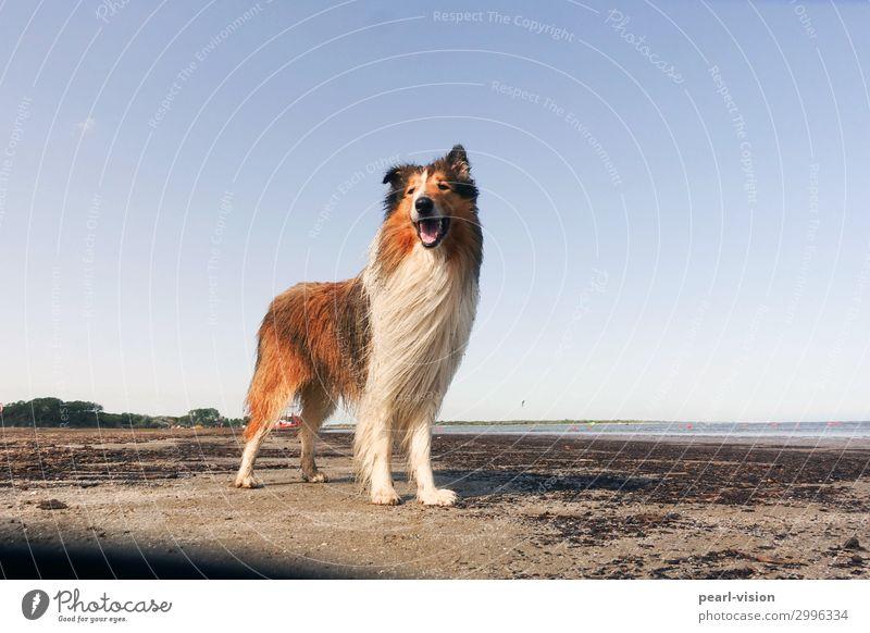 Merlin Dog 1 Animal Stand Happy Beautiful Joy Collie Colour photo Exterior shot Animal portrait