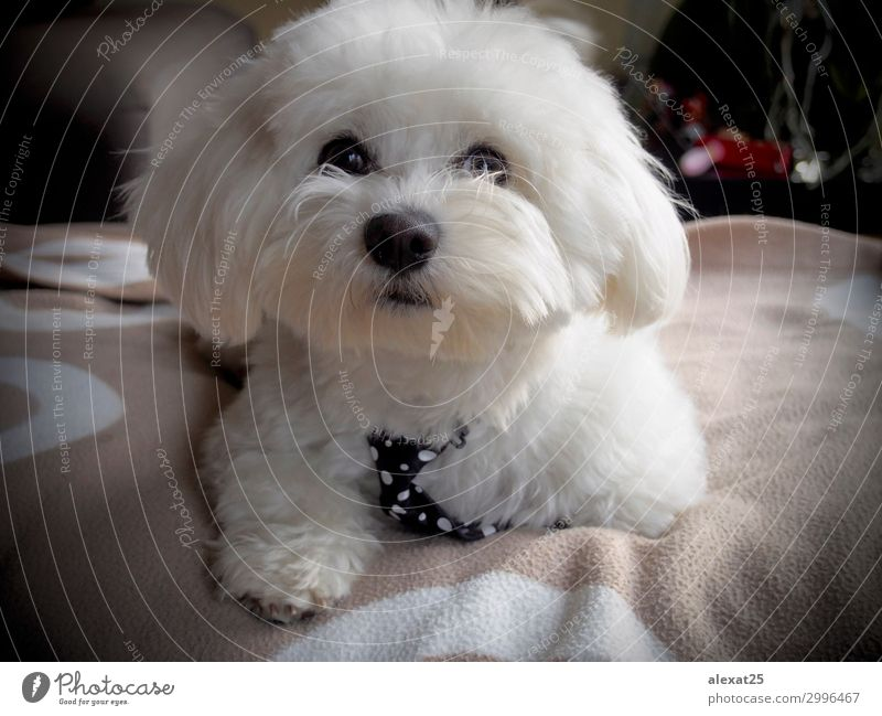 Cute bichon maltese with mope tie Happy Beautiful Nature Animal Pet Dog Love Sit Small White Delightful Breed Domestic furry hair Mammal Purebred pretty Puppy