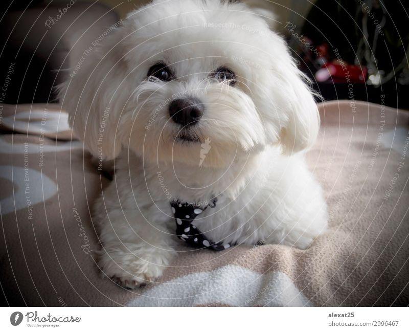 Cute bichon maltese with mope tie Nature Dog Beautiful White Animal Love Happy Small Sit Pet Mammal Delightful Breed Puppy Domestic