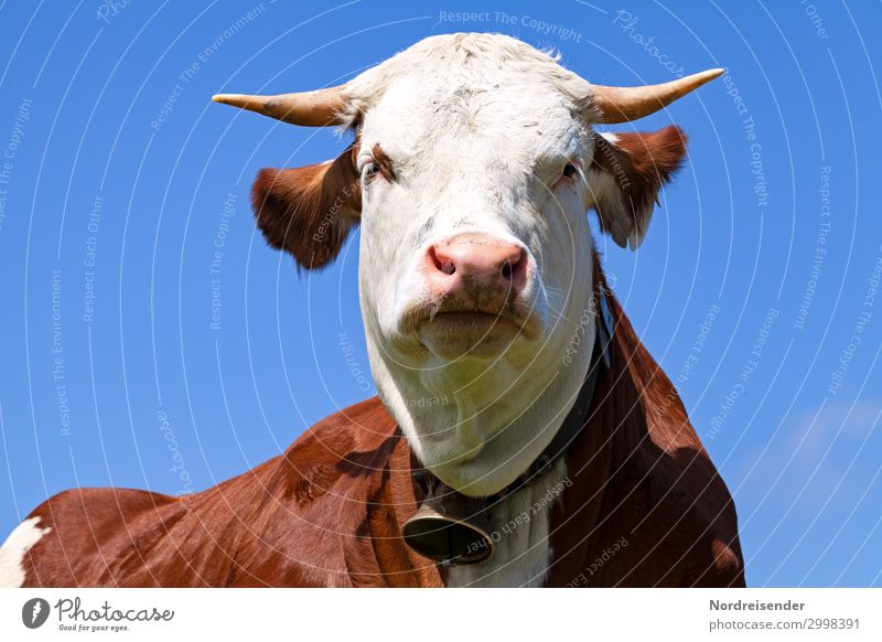 Nature Summer Blue White Animal Healthy Brown Idyll Perspective Beautiful weather Observe Agriculture Farm Cloudless sky Cow Antlers