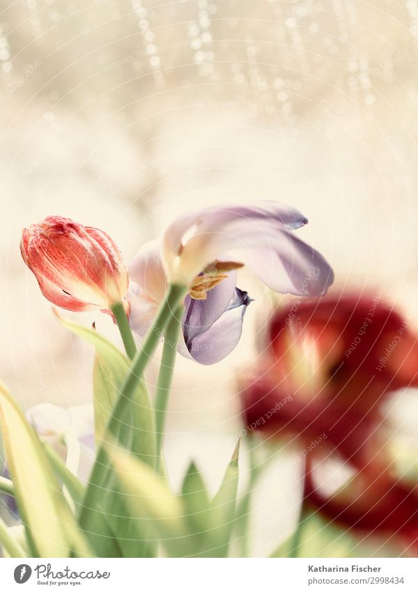 tulips Nature Plant Spring Summer Autumn Winter Tulip Leaf Blossom Blossoming Faded Green Violet Pink Red Turquoise White Tulip bud Colour photo Interior shot