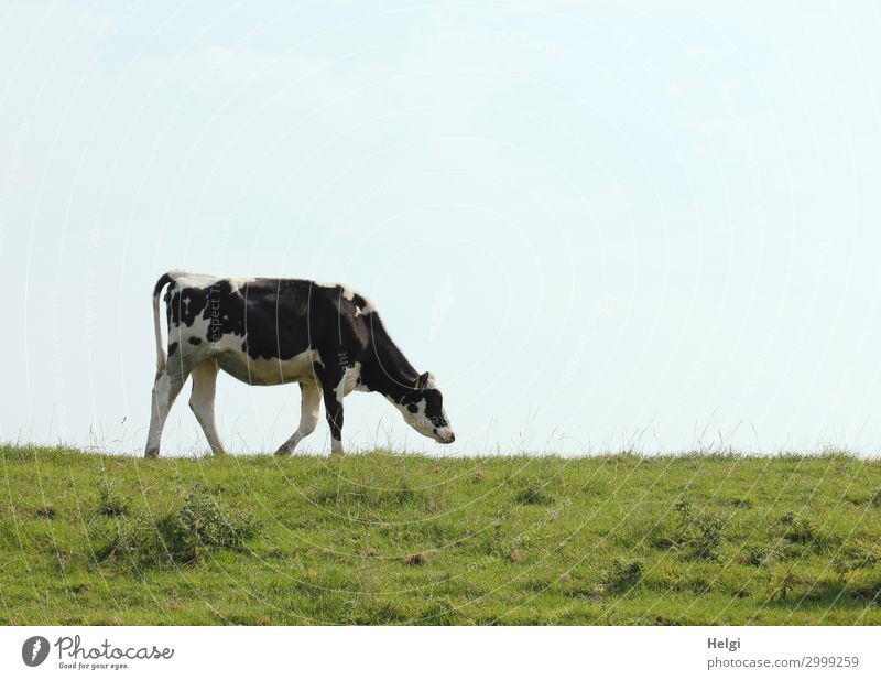 a lonely cow runs along the dike in fine weather Environment Nature Landscape Plant Animal Sky Summer Grass Foliage plant Farm animal Cow 1 Movement Going