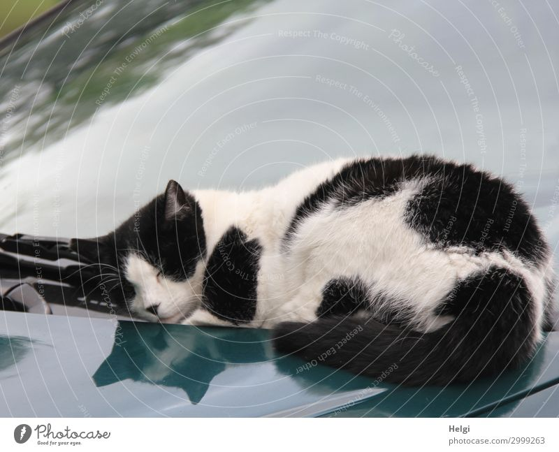 black and white cat lying on a car in the sunshine Autumn Car Animal Pet Cat 1 Lie Sleep Authentic Exceptional Uniqueness Gray Black White Contentment Calm