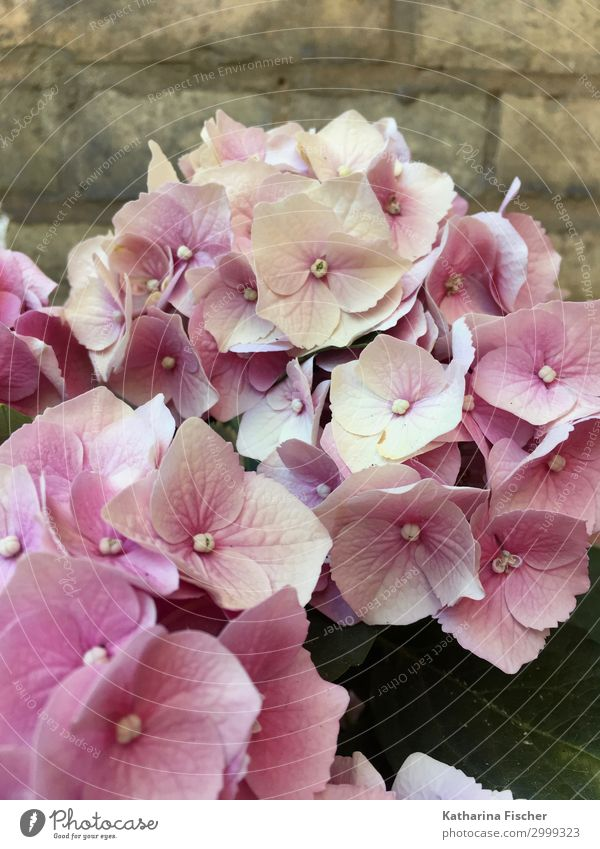 hydrangeas Nature Plant Spring Summer Autumn Flower Leaf Blossom Bouquet Blossoming Pink White Hydrangea Hydrangea blossom Hydrangea leaf Colour photo