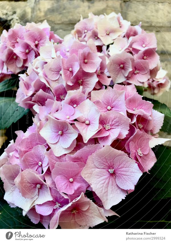 hydrangeas Nature Plant Spring Summer Autumn Flower Bushes Leaf Blossom Bouquet Blossoming Beautiful Pink Hydrangea Hydrangea blossom Hydrangea leaf