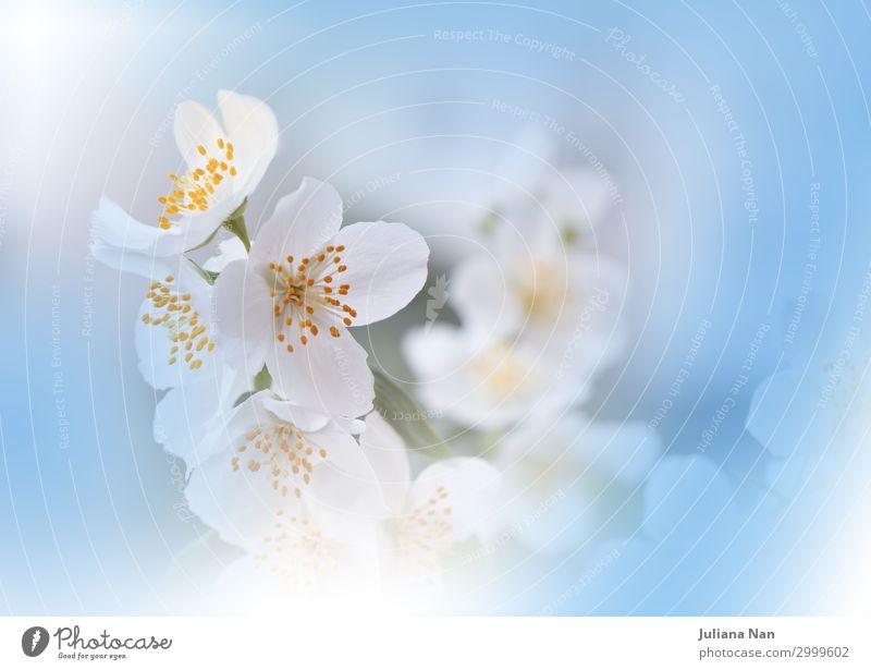 Blue Nature Macro Photography.Floral Art Design.Jasmine. Lifestyle Luxury Elegant Style Exotic Joy Cosmetics Perfume Work of art Environment Plant Sky Flower